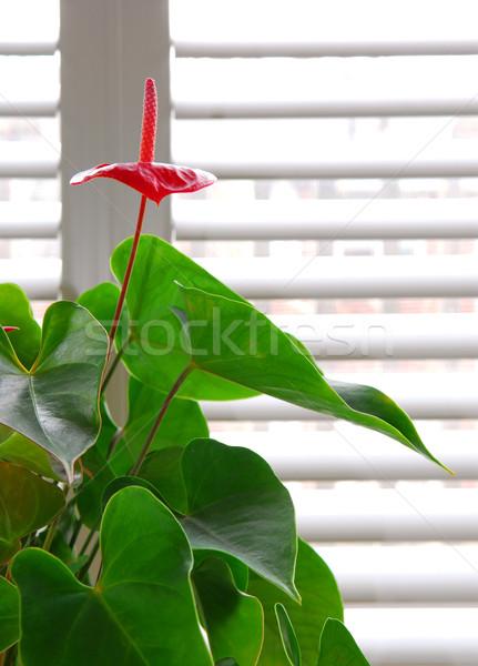 House plant Stock photo © elenaphoto