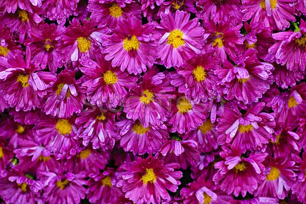 Pink mums background Stock photo © elenaphoto
