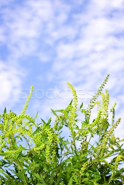 Ragweed plant Stock photo © elenaphoto