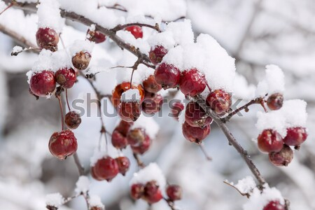 Crab apples on icy branch Stock photo © elenaphoto