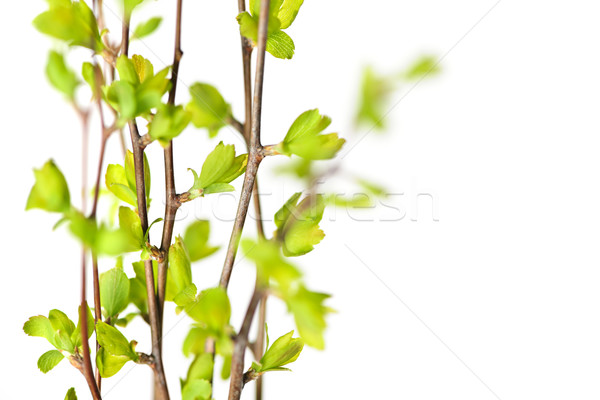 Branches with green spring leaves Stock photo © elenaphoto