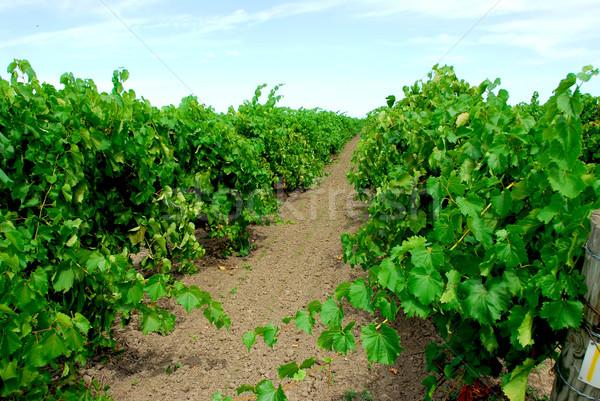 виноградник зеленый лозы солнце лист фрукты Сток-фото © elenaphoto