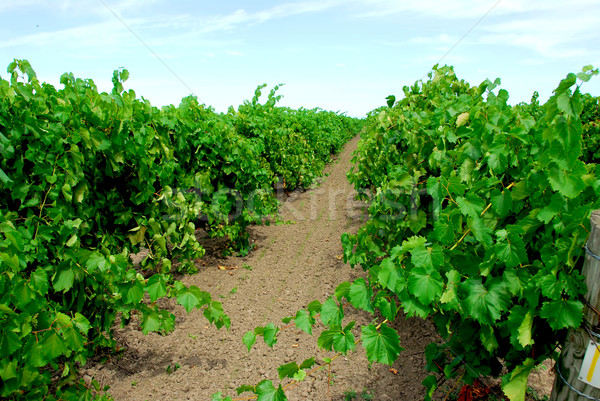 Vina verde vides sol hoja frutas Foto stock © elenaphoto