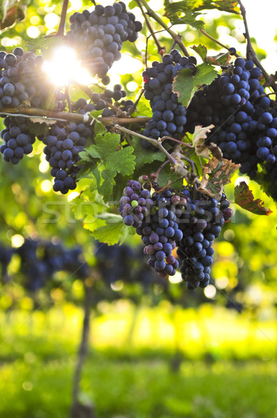 Purple виноград растущий винограда ярко Sunshine Сток-фото © elenaphoto