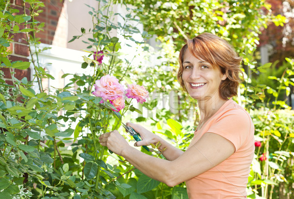 Woman pruning rose bush Stock photo © elenaphoto