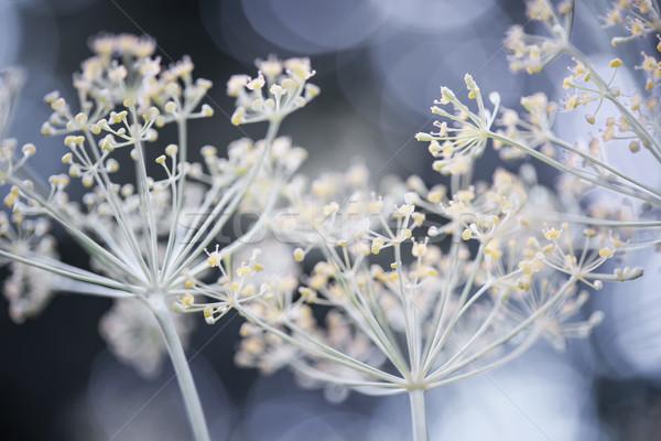 Flowering dill Stock photo © elenaphoto