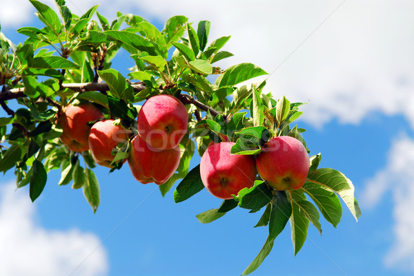 Stock foto: Äpfel · Zweig · rot · voll · Apfelbaum · blauer · Himmel