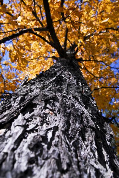 ビッグ 秋 ツリー 秋 公園 古い ストックフォト © elenaphoto