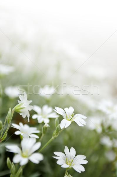 Bloemen bloem voorjaar natuur Stockfoto © elenaphoto