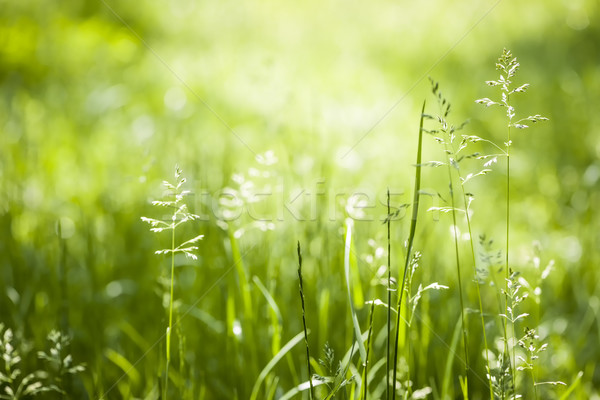 Groen gras bloei zomer gras groene planten Stockfoto © elenaphoto