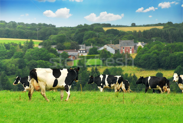 Cows in a pasture Stock photo © elenaphoto