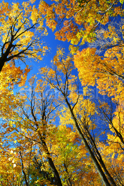 Fall maple trees Stock photo © elenaphoto