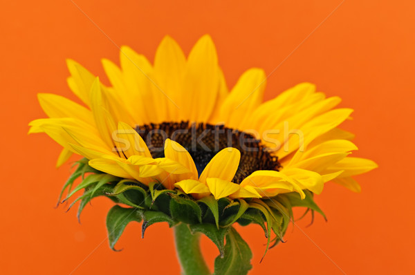 Foto d'archivio: Girasole · primo · piano · fiore · arancione · texture