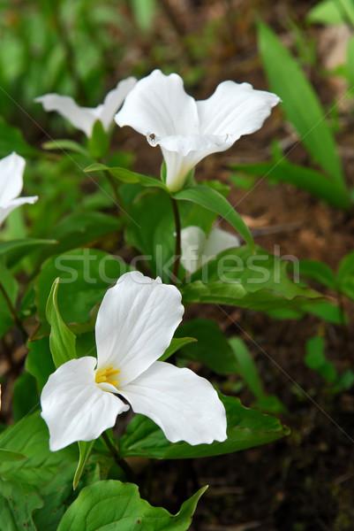 White Trillium Stock photo © elenaphoto