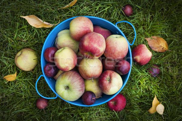 Fresh apples harvest Stock photo © elenaphoto