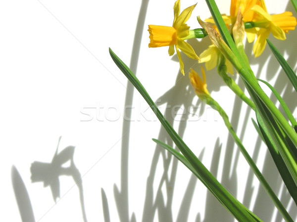 Narcisos sombras branco páscoa flor flores Foto stock © elenaphoto