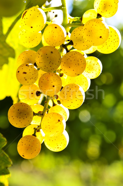 Yellow grapes Stock photo © elenaphoto