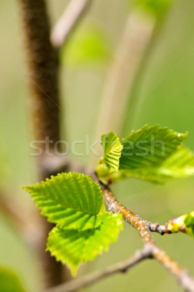 Green spring leaves Stock photo © elenaphoto