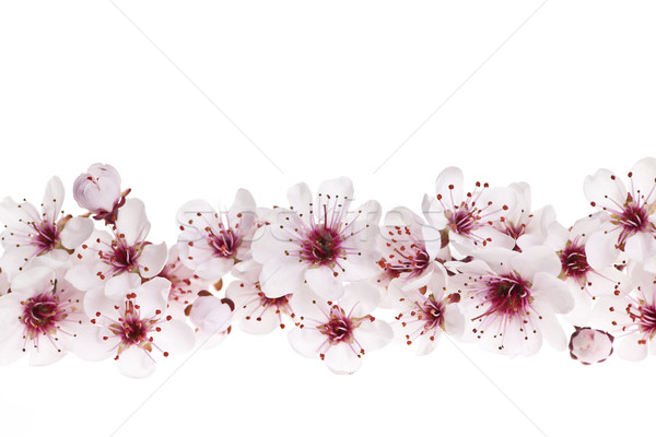 Stock photo: Cherry blossoms border