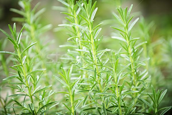 Rosemary herb plants Stock photo © elenaphoto