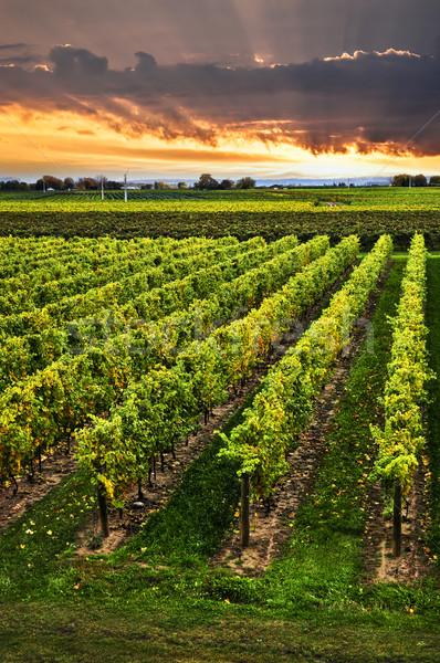 Stock fotó: Szőlőskert · naplemente · félsziget · Ontario · Kanada · égbolt