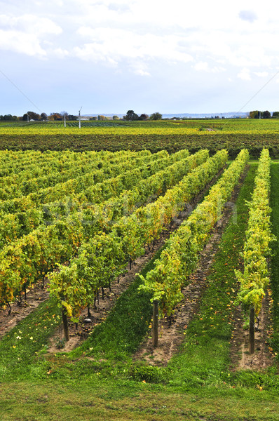 Vineyard Stock photo © elenaphoto