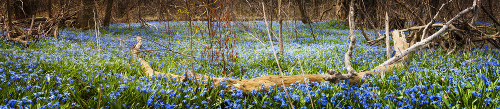 Carpet of blue flowers in spring forest Stock photo © elenaphoto
