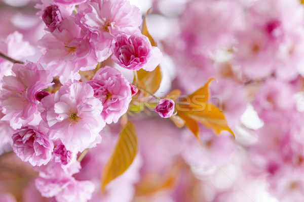 Rose printemps verger cerisiers en fleurs fleurs Photo stock © elenaphoto