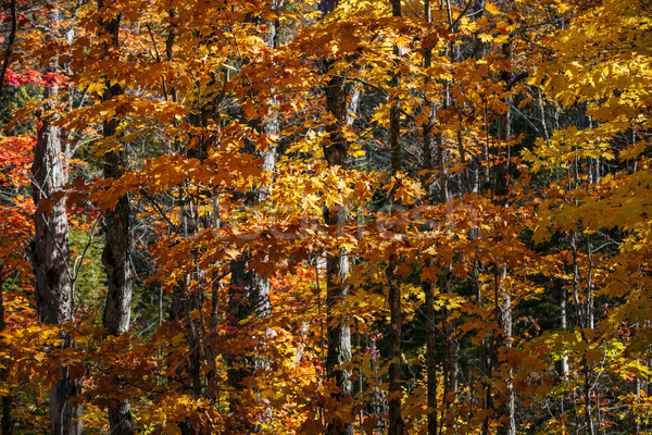 Fall forest background with orange leaves Stock photo © elenaphoto