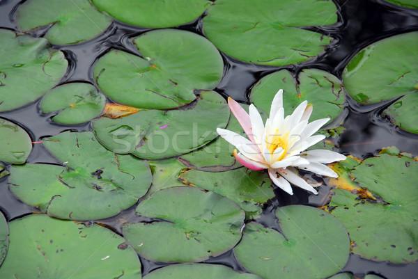 Water lelie bloem bloemen natuur Stockfoto © elenaphoto