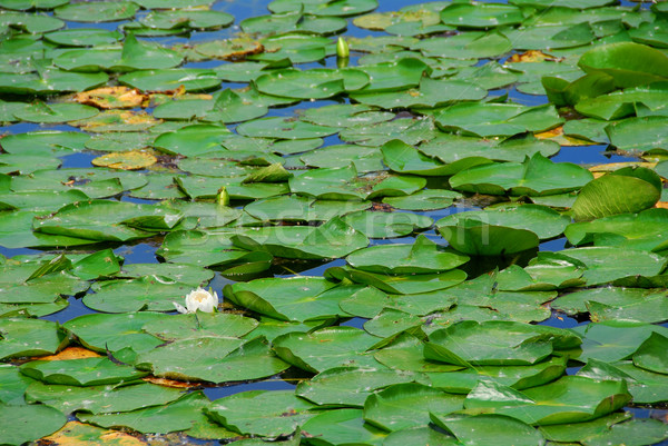 Water lelies groene lelie witte lotus Stockfoto © elenaphoto