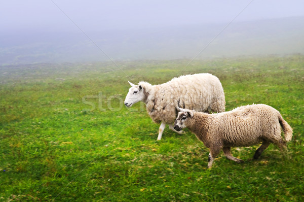 Sheep in Newfoundland Stock photo © elenaphoto