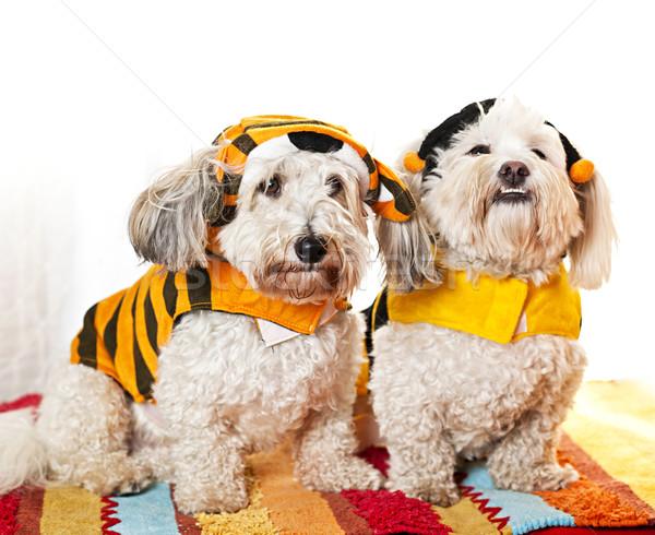 Cute dogs in costumes Stock photo © elenaphoto