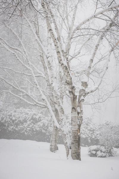 Nyírfa fák tél hó fedett nehéz Stock fotó © elenaphoto
