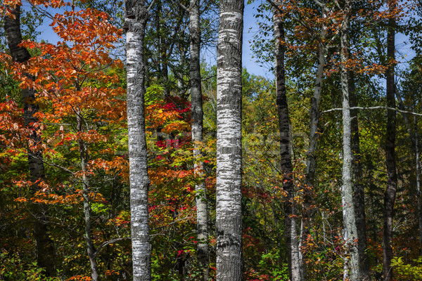 Aspens in fall forest Stock photo © elenaphoto