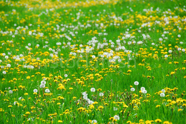 Dandelion field Stock photo © elenaphoto