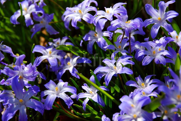şan kar mavi çiçekler erken bahar Stok fotoğraf © elenaphoto