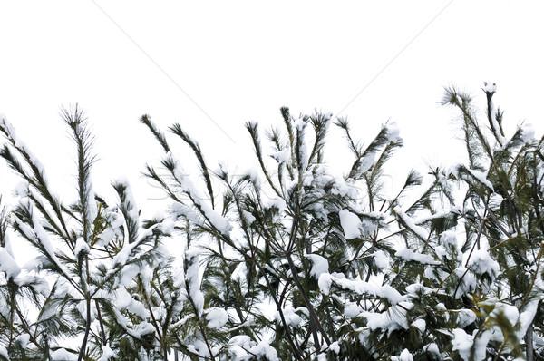 Foto d'archivio: Inverno · rami · albero · coperto · soffice · neve