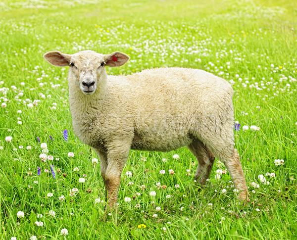 Cute young sheep Stock photo © elenaphoto