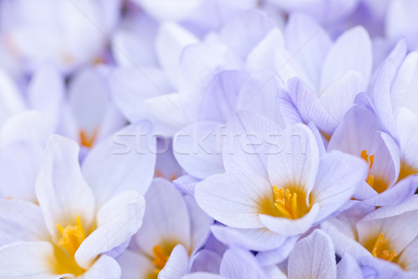 Abundant crocus blossoms Stock photo © elenaphoto
