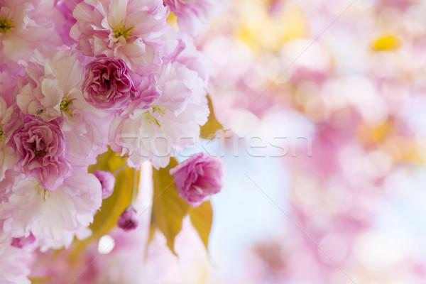 Stock fotó: Rózsaszín · cseresznyevirágzás · tavasz · gyümölcsös · cseresznyevirág · virágok