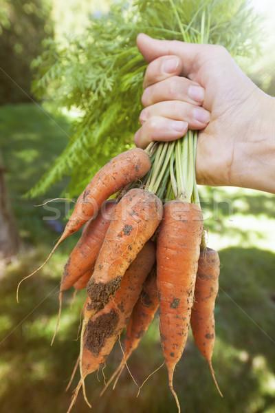 Foto stock: Fresco · cenouras · jardim · mão · monte