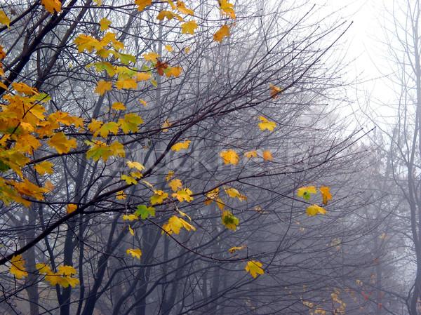 Utolsó juhar levelek köd fa ágak Stock fotó © elenaphoto