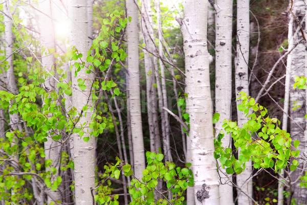 Aspen grove Stock photo © elenaphoto