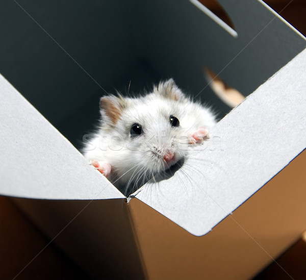 Hamster in a box Stock photo © elenaphoto