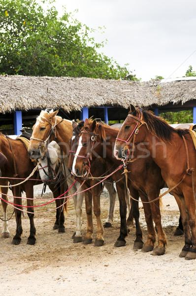 Atlar plaj hazır caribbean kum hayvanlar Stok fotoğraf © elenaphoto