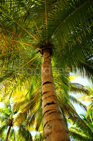 Palm tree canopies in tropical forest  Stock photo © elenaphoto