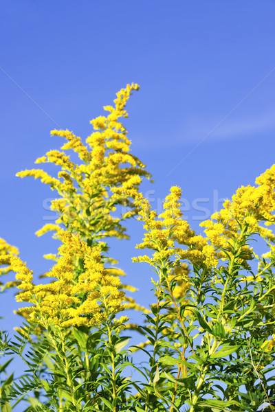 Goldenrod plant Stock photo © elenaphoto