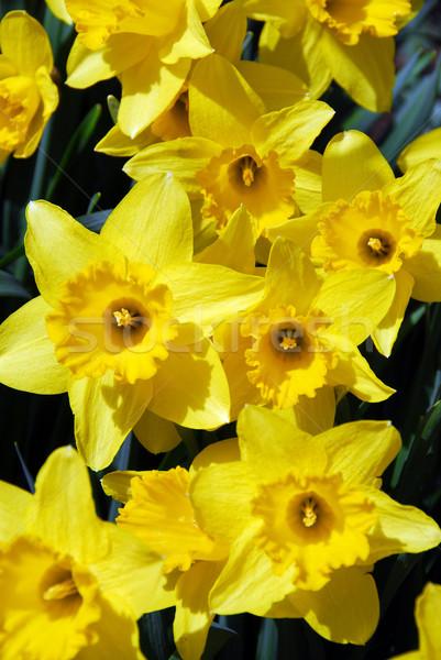 Narcisos páscoa flor flores primavera Foto stock © elenaphoto