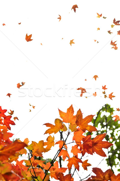 Stock photo: Fall maple leaves background